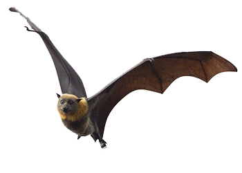Bats Are Interesting Creatures And Exhibit Many Habits That Give Them Away For One Most Of Can Be Easily Observed Leaving A Home At Dusk