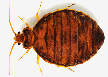 bed bug 4