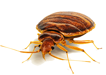 bed bug 5