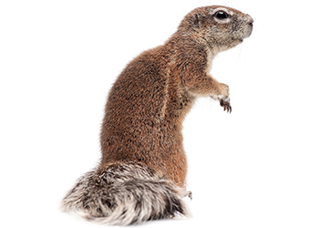 ground squirrel 2
