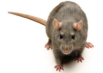 Rats in Attic | Rat Removal from Attic