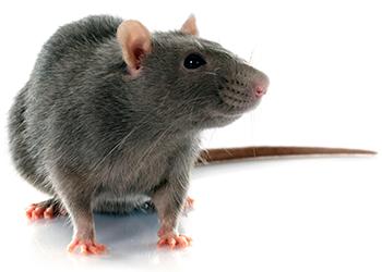 Roof Rats | Get Rid of Roof Rats