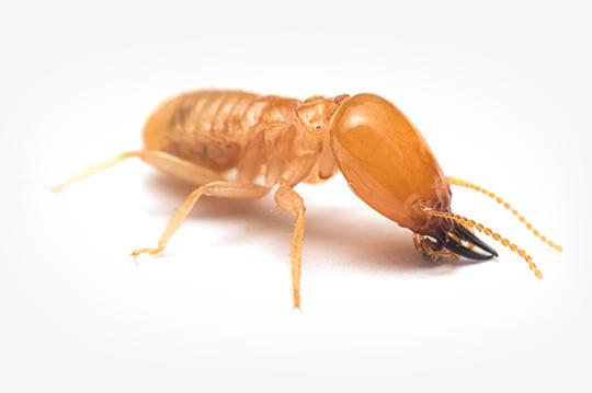 Subterranean Termite Information Identification Questions