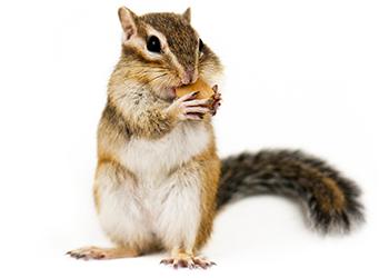 Squirrels In Attic Get Rid Of Squirrels In Attic